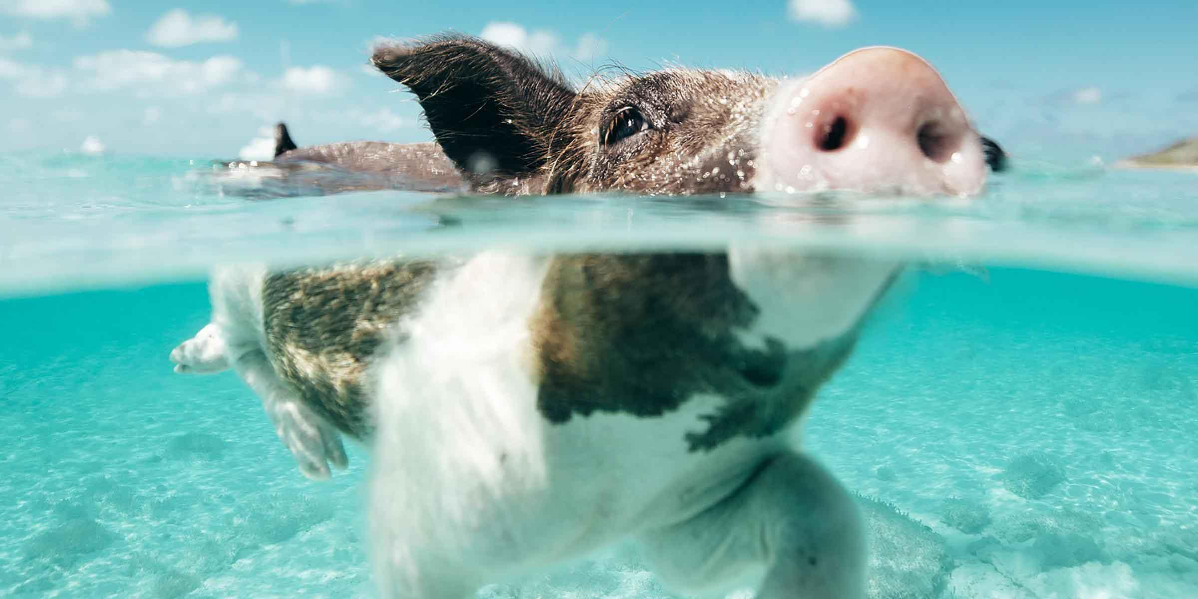 Cochons nageurs aux Exumas, Bahamas